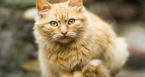 Katze Stubentiger
