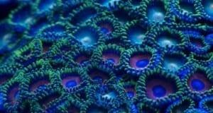 Zoanthus fluoreszierend im Blaulicht