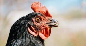 Huhn im Freien