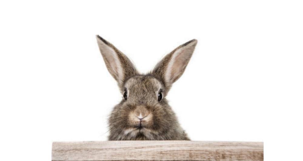 Hase - Kaninchen