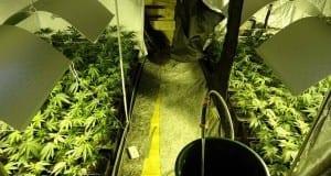 Oberstaufen 113 Cannabispflanzen sichergestellt