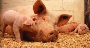 Schweine in Mastbetrieb
