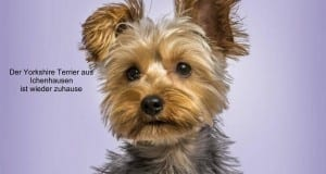 Yorkshire-Terrier-Eric-Isselée-Fotolia Zuhause