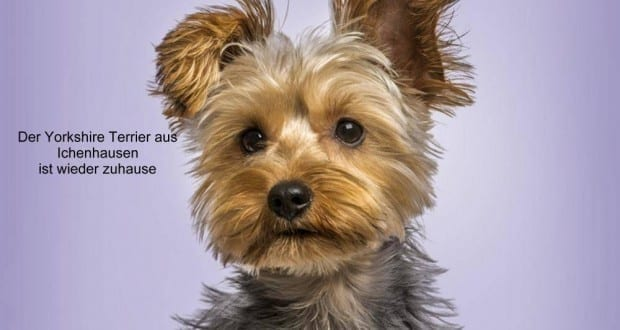 Yorkshire-Terrier-Eric-Isselée-Fotolia Zuhause