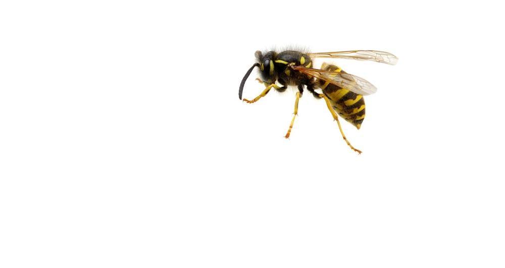 Hornisse Insekt