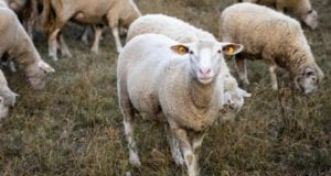 Schaf Schafe