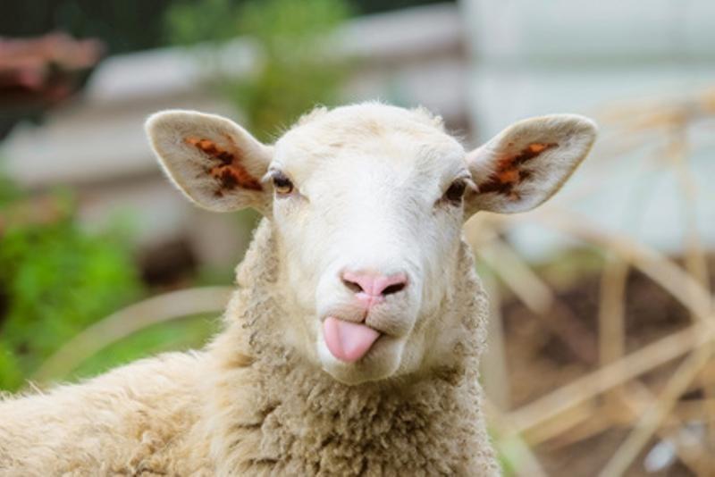 Schaf streckt Zunge raus