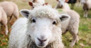 Schaf Weide