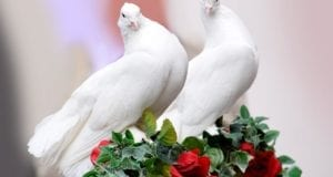 Tauben Hochzeitstaube