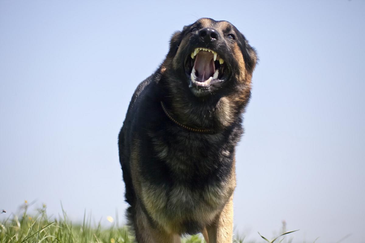 Hund Angriff Hundebiss