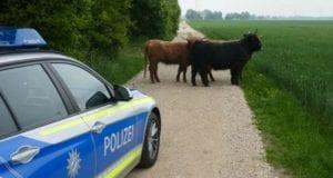 Rinder B2 Polizei Donauwörth