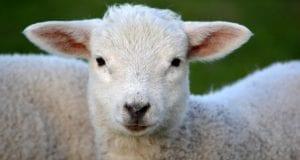 Schafe Lämmer