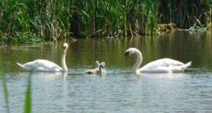 Heiningen Schwan Familie 1