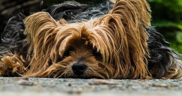 Hund Yorkshire Terrier
