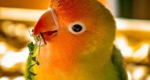 Papagei Agaporniden