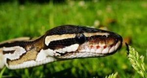 Schlange Python