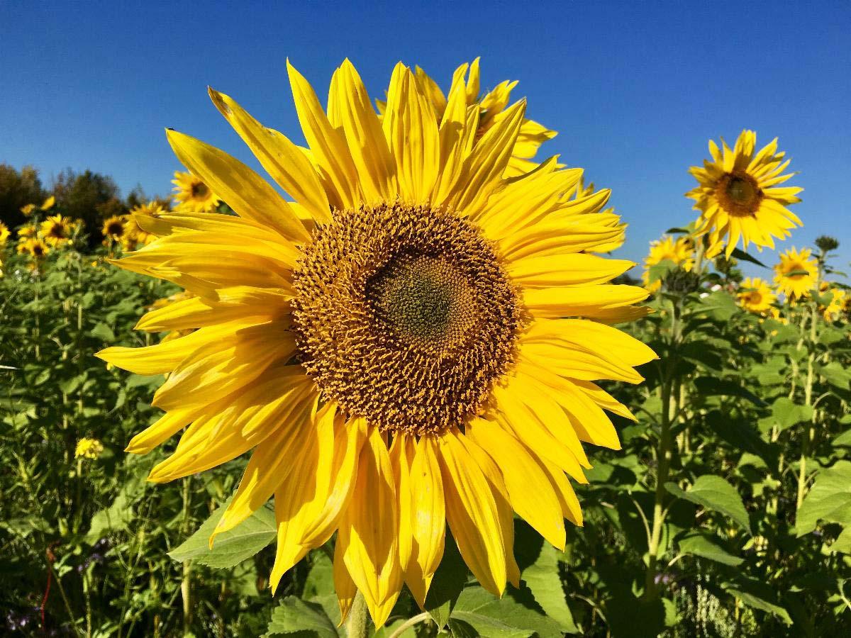 Sonnenblumen auf einem Feld