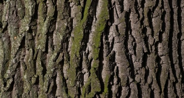 Baum Eiche Rinde