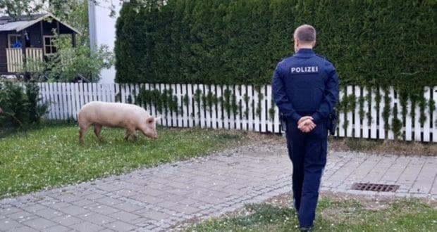 Schwein Buxheim Polizei Memmingen