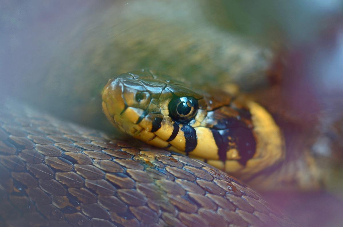 Schlange Ringelnatter