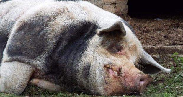 Schwein Sau Stall
