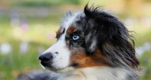 australian shepherd Hund