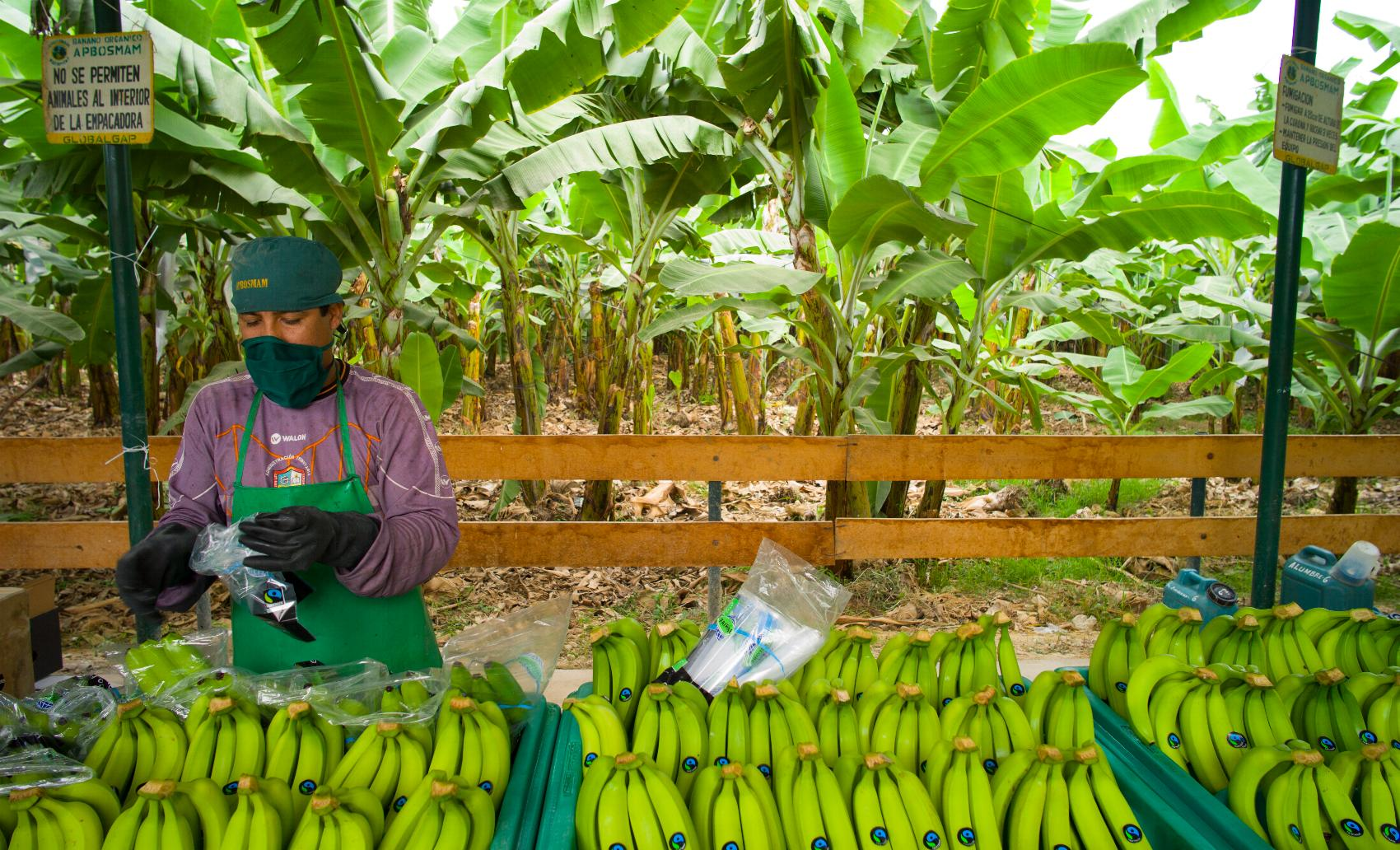 Bananenorganisation Peru Santiago Engelhardt