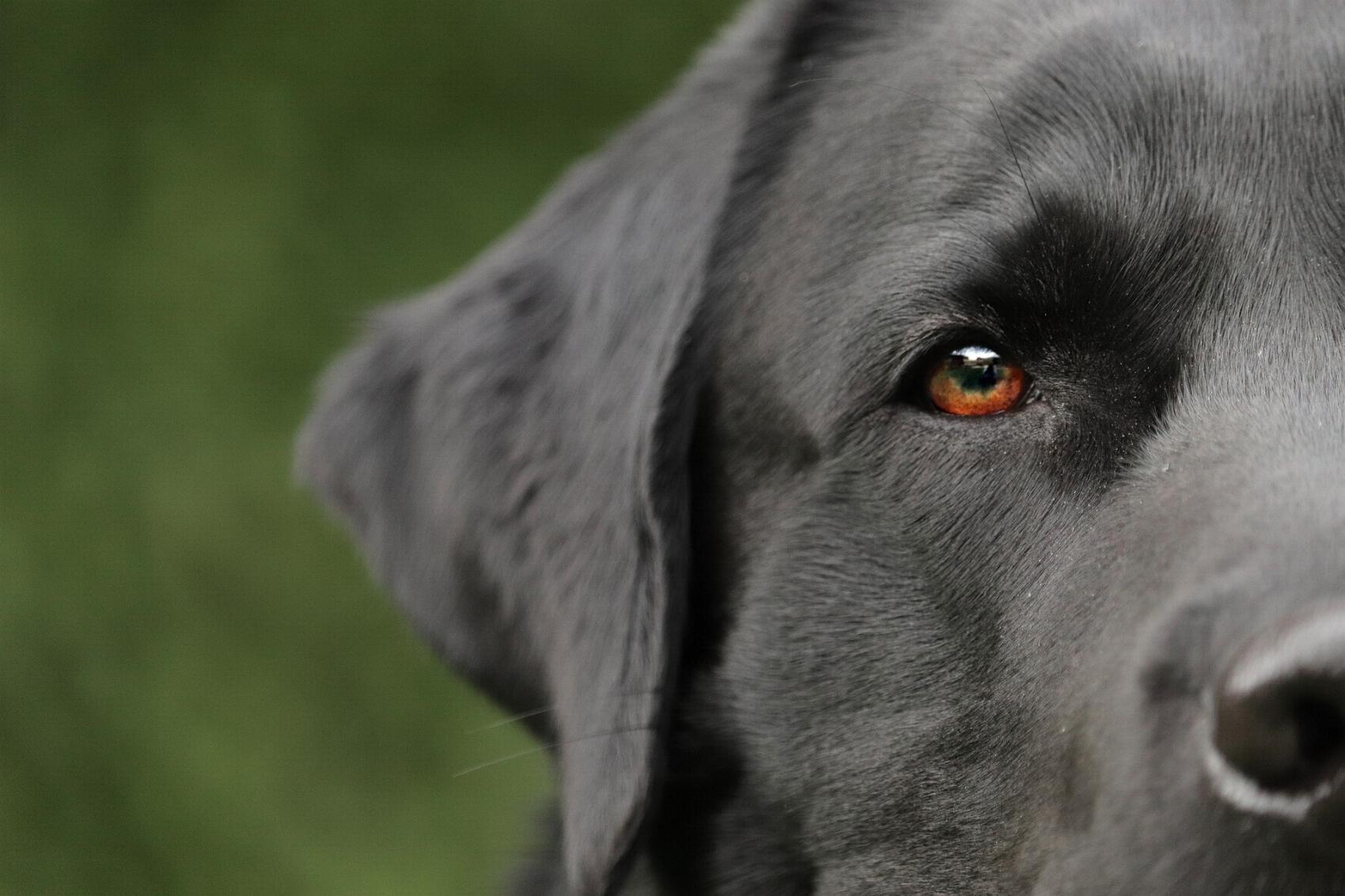 Hund Labrador