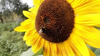 Hummel Sonnenblume dts